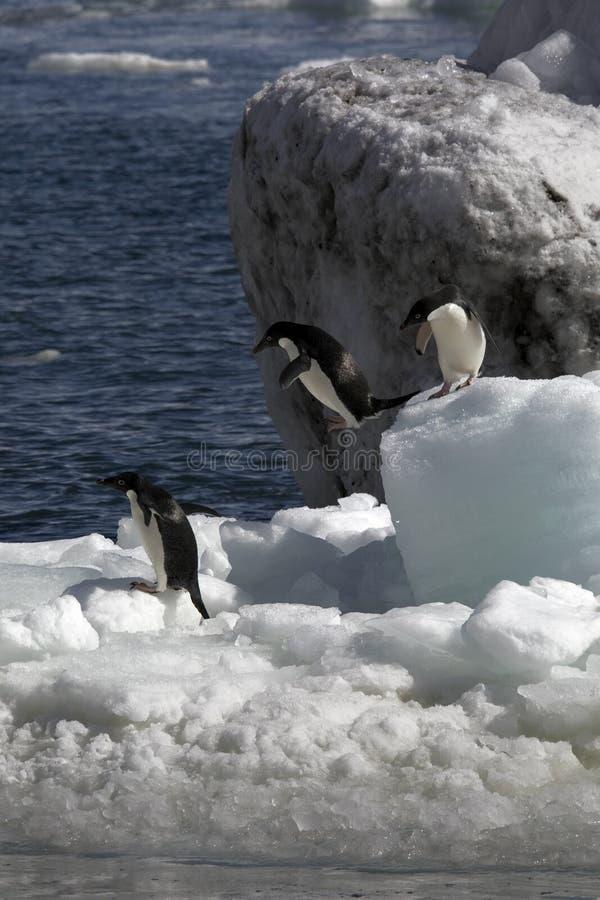 Download Antarctic Penguin(s) stock image. Image of cute, animal - 23612291