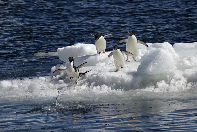 Download Antarctic Penguin(s) stock image. Image of bird, snow - 23612321
