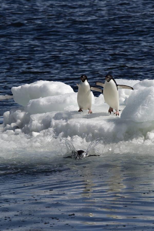 Antarctic Penguin(s) Stock Photography