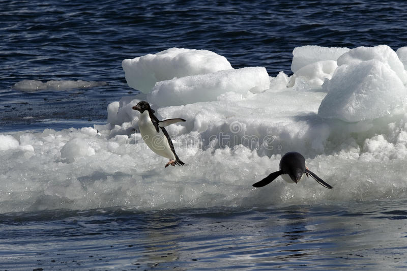 Download Antarctic Penguin(s) stock photo. Image of climate, freeze - 23612342