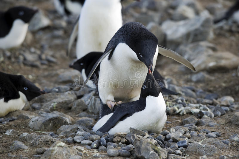 Antarctic Penguin(s)