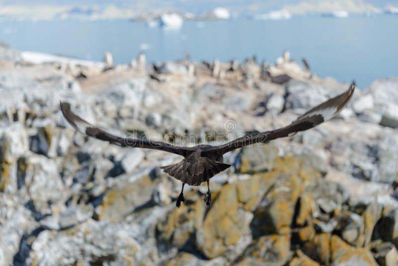 Antarctic scua flying above penguin`s colony royalty free stock image