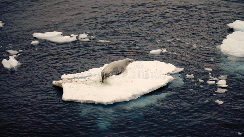 Antarctic Seal Lion on small ice shelf in the Ocean of Antarctica.  royalty free stock image