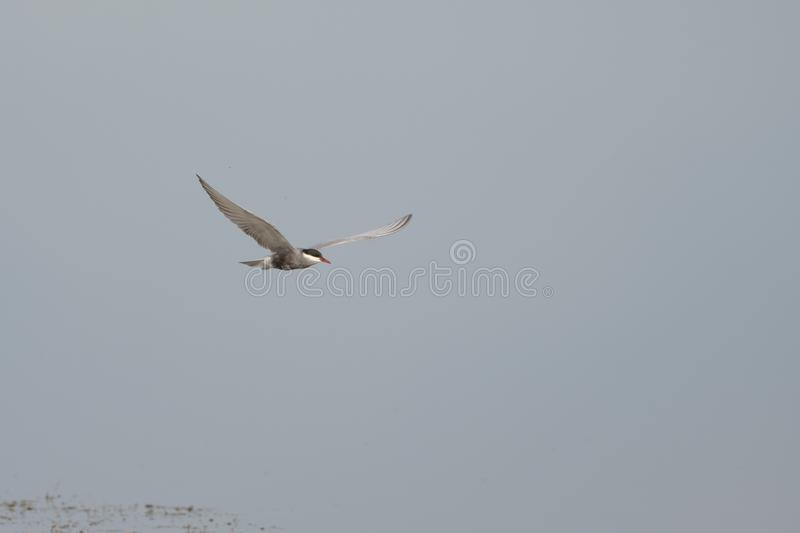 Antarctic tern Sterna vittata in flight royalty free stock image