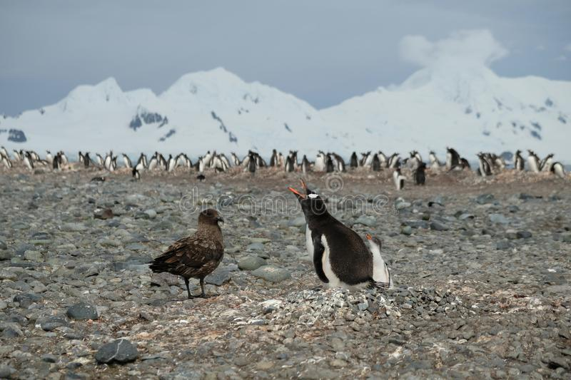 Antarctica Gentoo penguin defending penguin chick from skua. Gentoo penguins in Antarctica often have to defend their chicks and eggs from the predator skua bird royalty free stock images