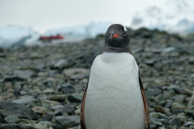 Antarctica Gentoo pingwinu stojaki na skalistej plaży z wodą opuszczają na piórkach, czerwona łódź zdjęcie stock