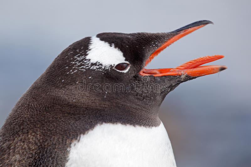 antarctica gentoo pingwinu target2250_0_ fotografia royalty free