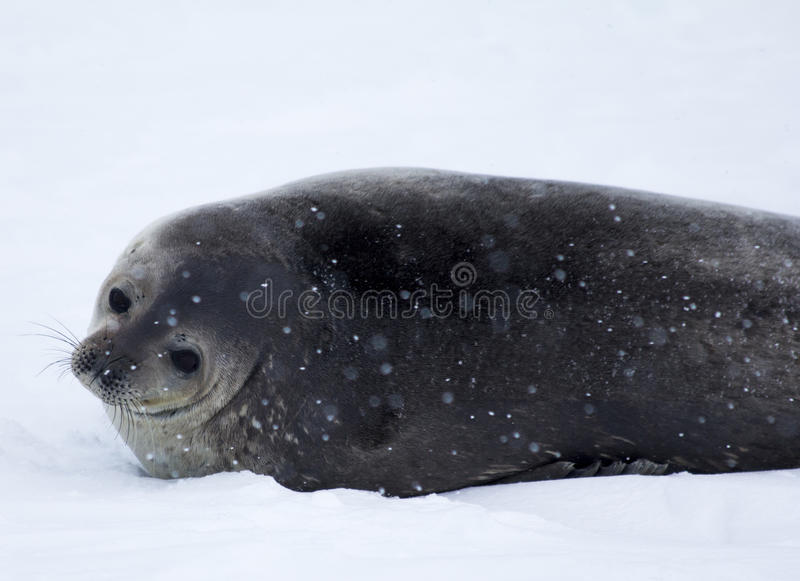 Antarctica Seal royalty free stock images