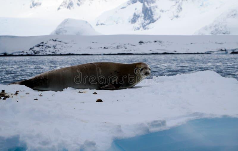 Antarctica Seals on Ice Shelf near Peterman Island in Antarctica.  royalty free stock photos