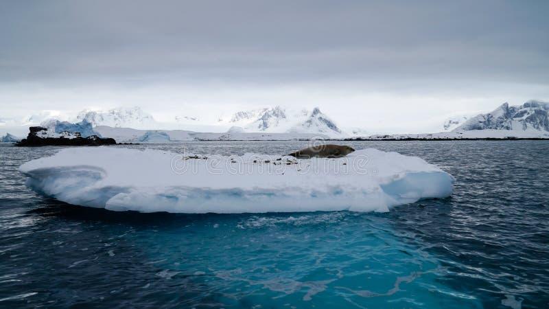 Antarctica Seals on Ice Shelf near Peterman Island in Antarctica.  royalty free stock photo