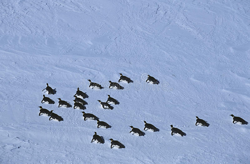 Antarctica Weddell Sea Riiser Larsen Ice Shelf colony of Emperor Penguin royalty free stock image