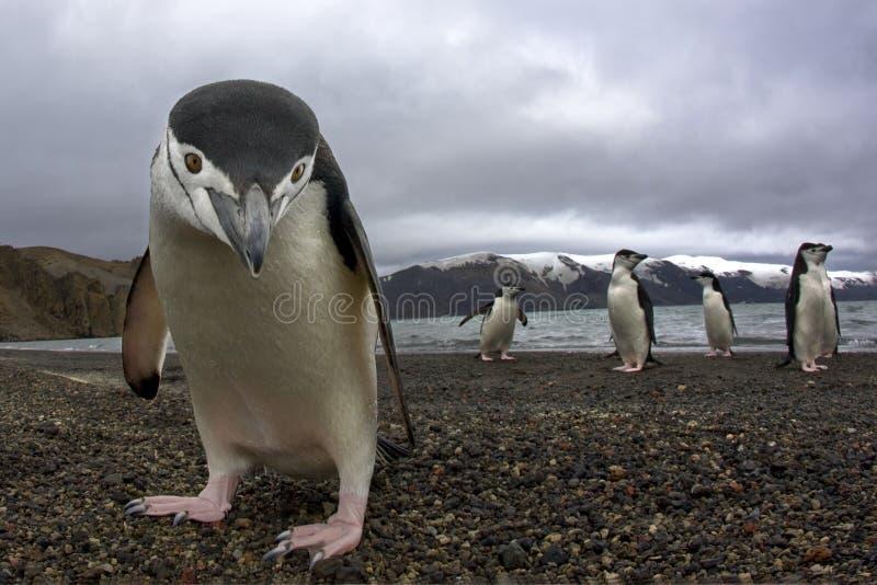 Antarctiicpinguïn stock fotografie