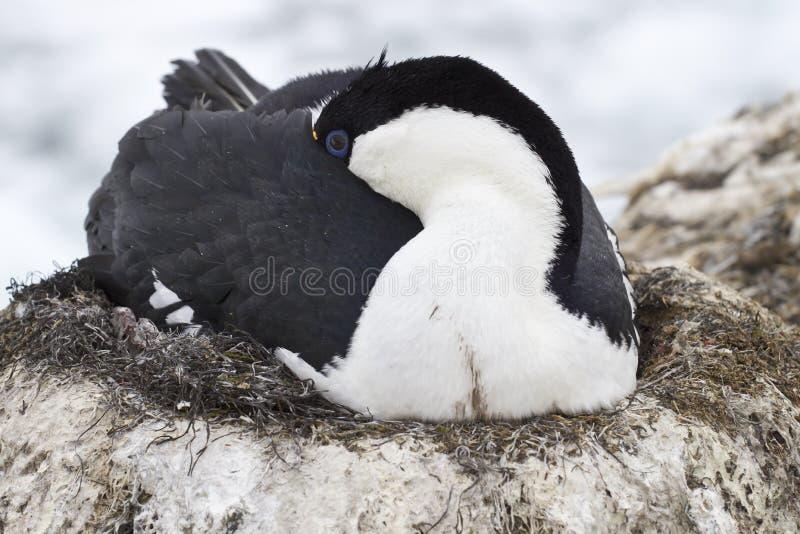 Antarctische blauw-eyed aalscholverslaap tijdens incubatie het leggen royalty-vrije stock fotografie