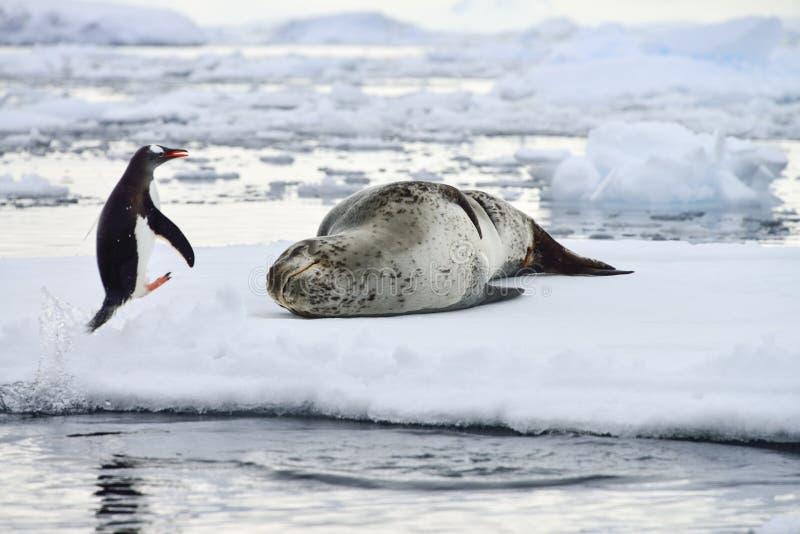 Antarctische Luipaardverbinding & Gentoo-Pinguïn royalty-vrije stock foto