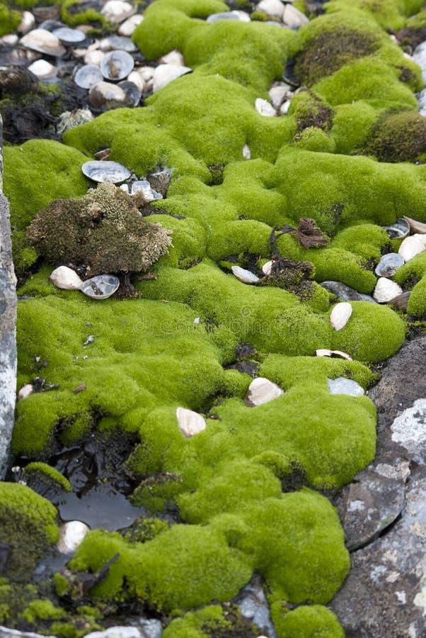 Antarctische mossen. stock fotografie
