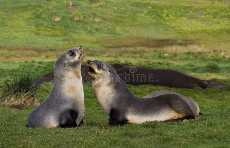 Antarctische Pelsrob,南极海狗, Arctocephalus羚羊属 库存照片