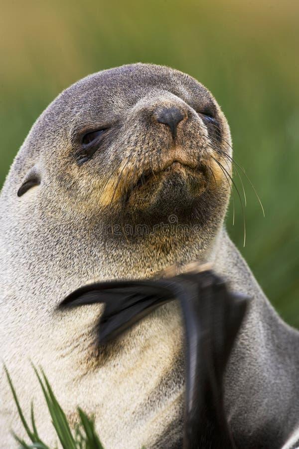 Antarctische Pelsrob,南极海狗, Arctocephalus羚羊属 免版税库存照片