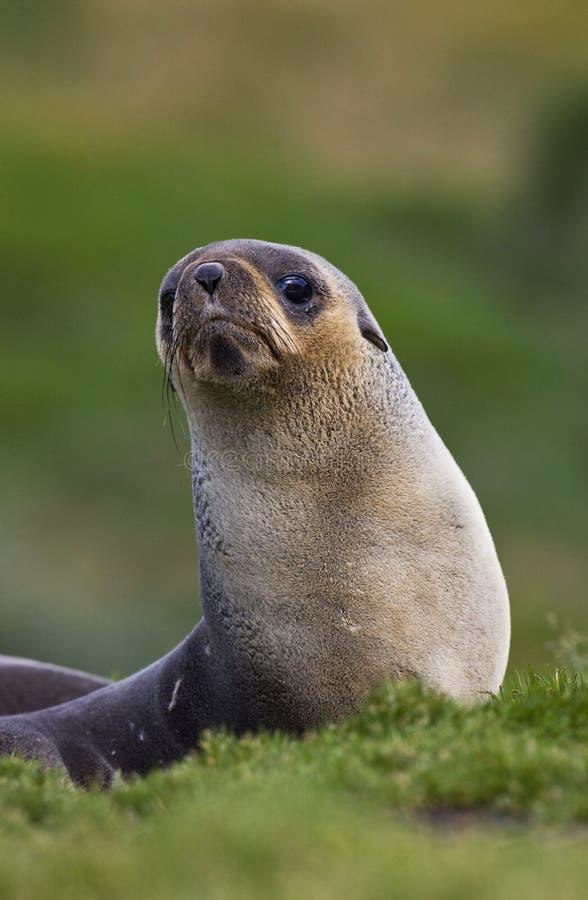 Antarctische Pelsrob, Antarktyczna Futerkowa foka, Arctocephalus gazella obrazy stock