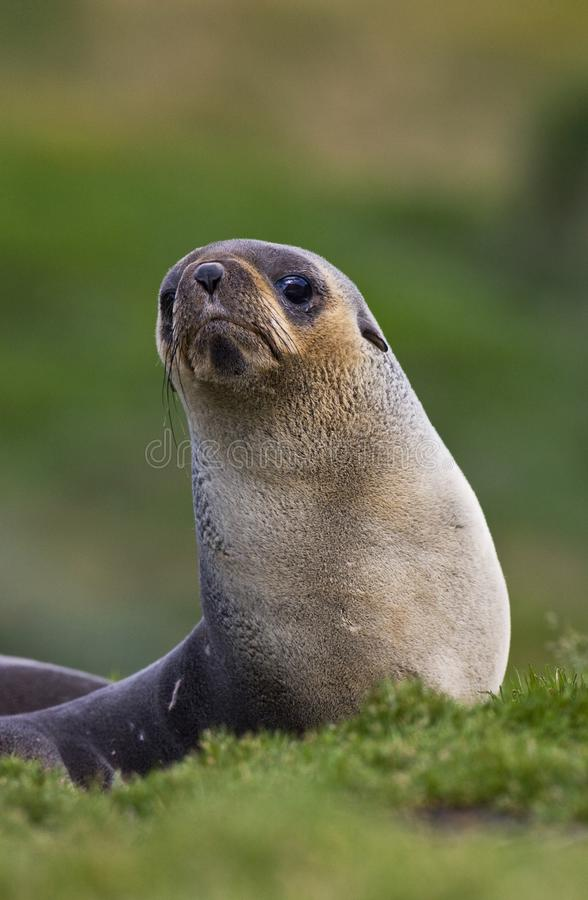 Antarctische Pelsrob, guarnizione di pelliccia antartica, arctocephalus gazella immagini stock