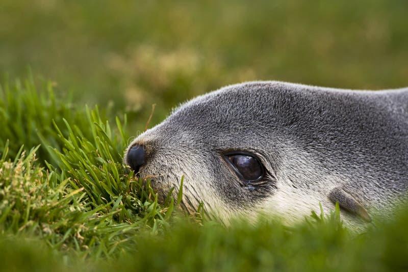 Antarctische Pelsrob, guarnizione di pelliccia antartica, arctocephalus gazella immagine stock
