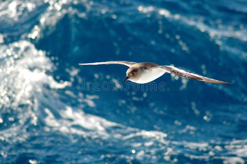 Antarktischer Sturmvogel lizenzfreie stockfotografie