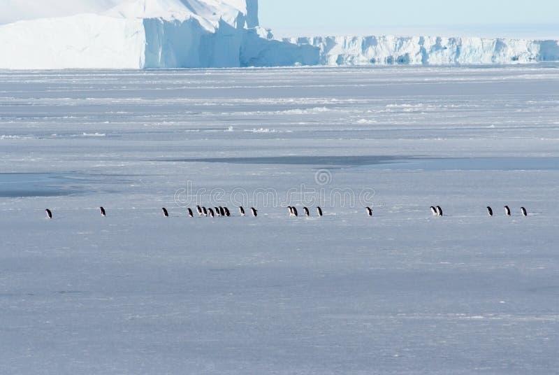 Antarktisk is och pingvin Adeli arkivbild