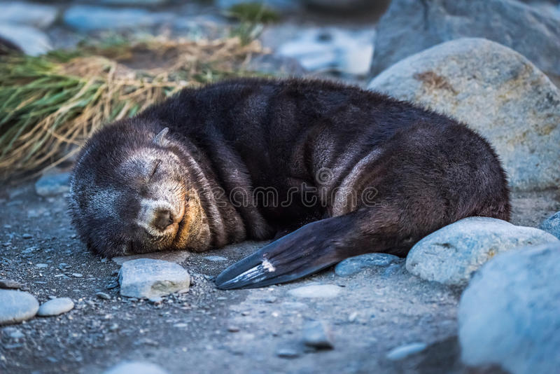 Antarktisk pälsskyddsremsa sovande på den steniga stranden royaltyfria foton