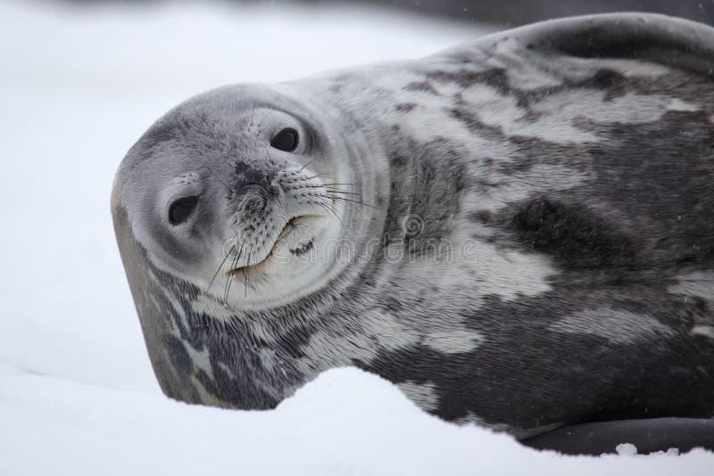 Antarktisskyddsremsaweddell Fotografering för Bildbyråer