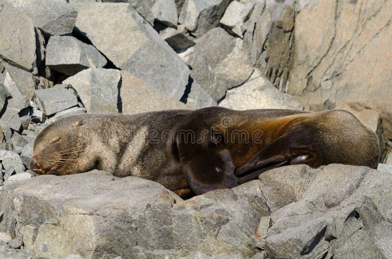 Download Antarktyczny Futerkowej Foki Dosypianie Na Skałach Obraz Stock - Obraz złożonej z foka, futerko: 57674325