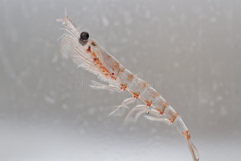 Antarktyczny krill w wodnej kolumnie Południowy ocean fotografia stock