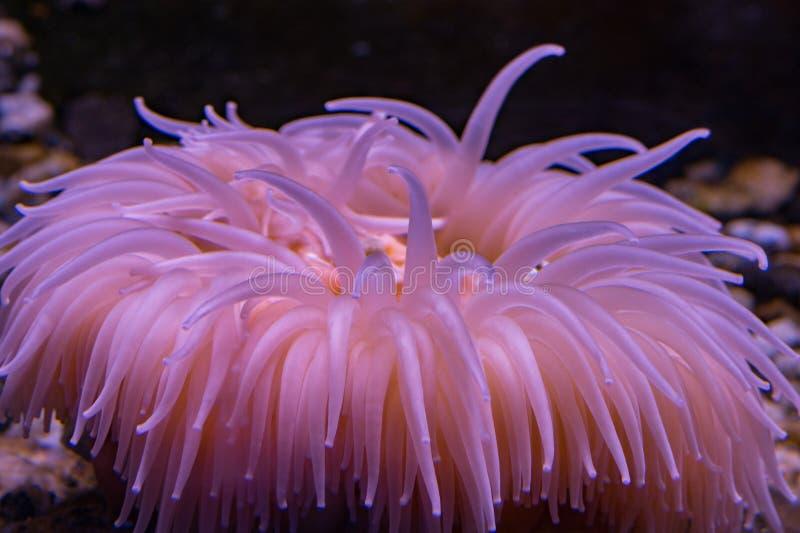 Antarktyczny różowy anemonowy podwodny zakończenie up zdjęcie royalty free