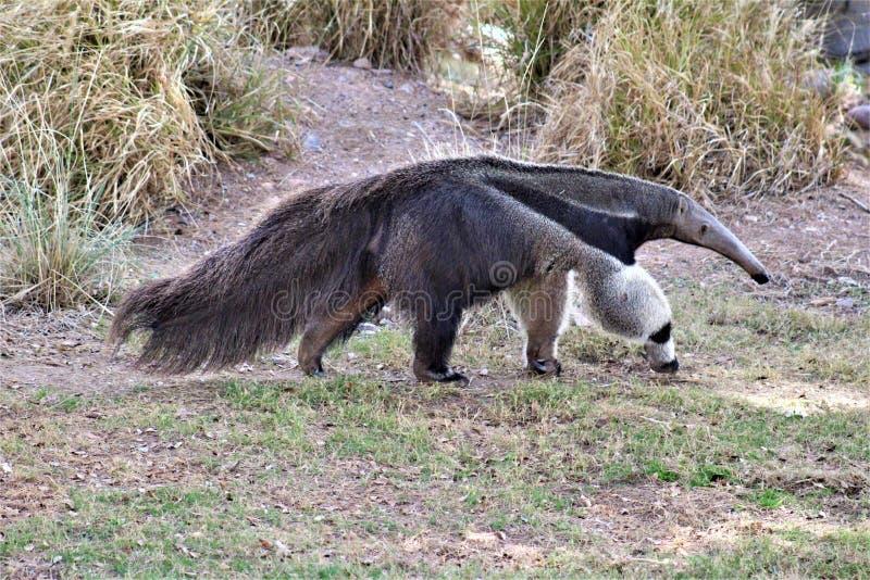 Anteater, ζωολογικός κήπος του Phoenix, κέντρο της Αριζόνα για τη συντήρηση φύσης, Phoenix, Αριζόνα, Ηνωμένες Πολιτείες στοκ εικόνες