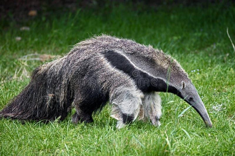 anteater рисуя гигантскую акварель руки стоковое изображение
