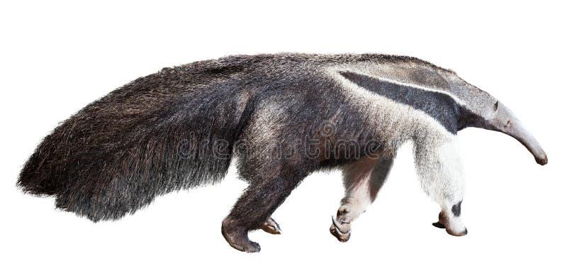 anteater рисуя гигантскую акварель руки стоковые фотографии rf