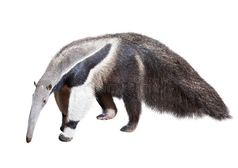 anteater рисуя гигантскую акварель руки стоковые изображения
