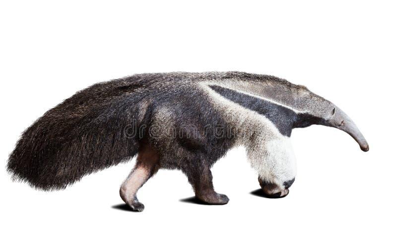 anteater рисуя гигантскую акварель руки стоковые изображения rf