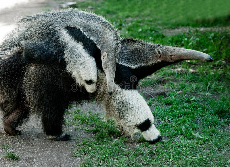 anteater стоковое изображение rf