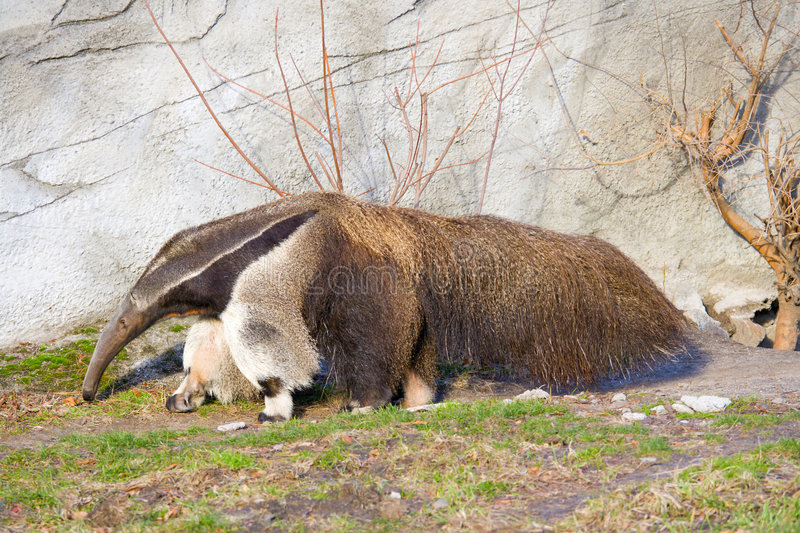 Anteater royalty free stock photos