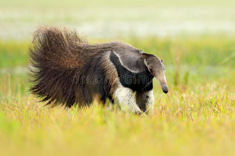 Anteater, cute animal from Brazil. Giant Anteater, Myrmecophaga tridactyla, animal long tail and log muzzle nose, Pantanal, Brazil. Wildlife scene, wild nature royalty free stock photo
