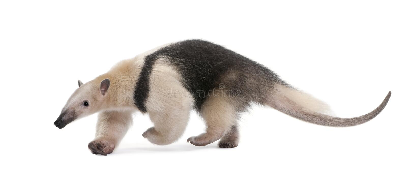 anteater försedd med krage tamanduatetradactyla royaltyfri foto