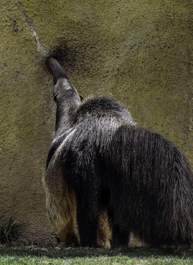 Anteater. Giant anteater searching for food royalty free stock image
