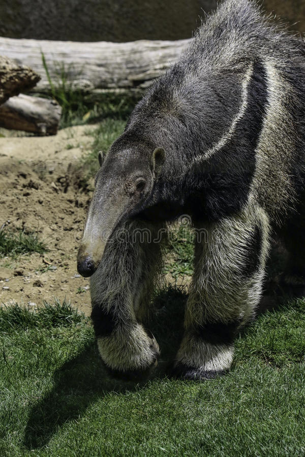 Anteater. Giant anteater stepping forward on green grass royalty free stock images