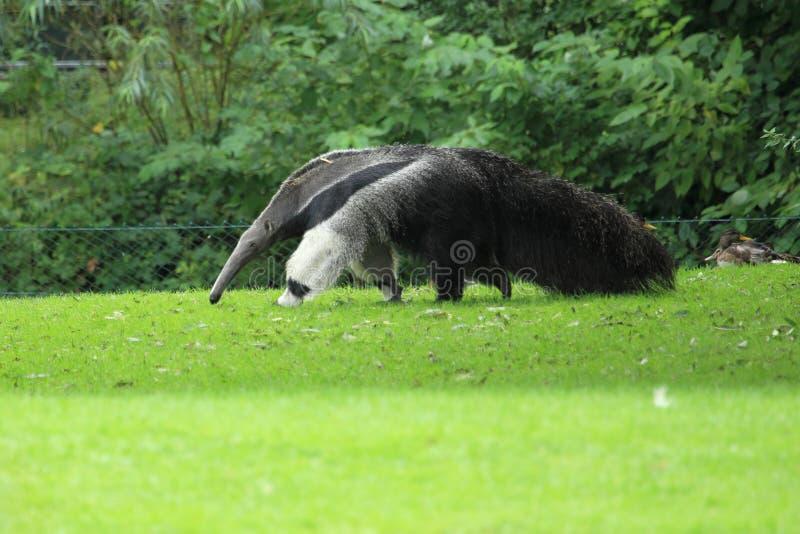 Anteater gigante fotos de archivo libres de regalías