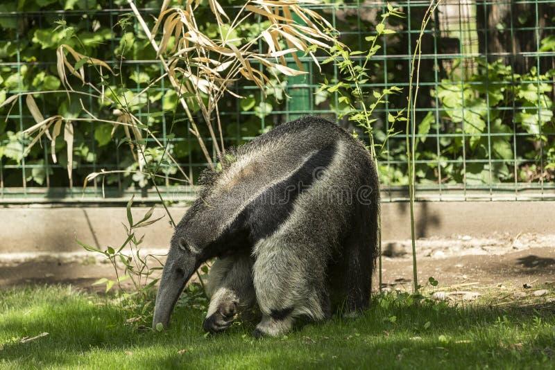 Anteater gigante immagini stock libere da diritti