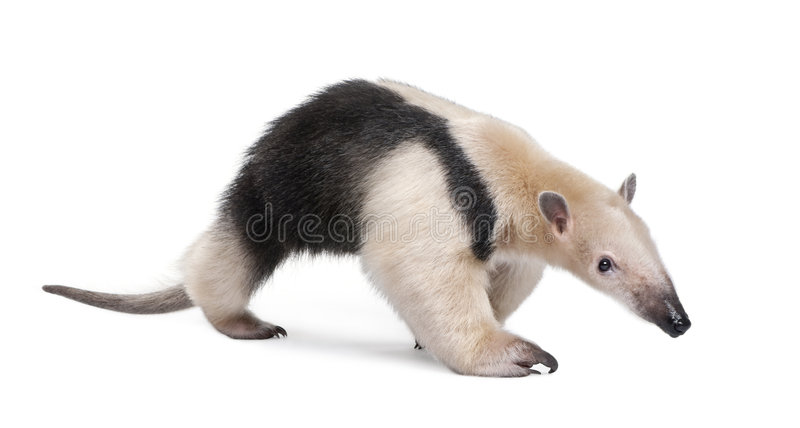 anteater kołnierzasty tamandua tetradactyla fotografia stock