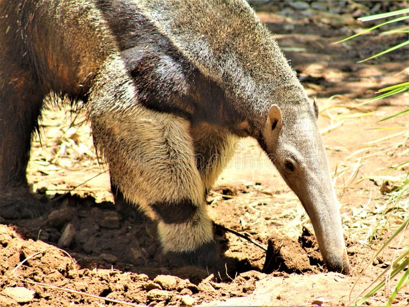 Anteater, Phoenix Zoo, Arizona Center for Nature Conservation, located in Phoenix, Arizona, United States stock photos
