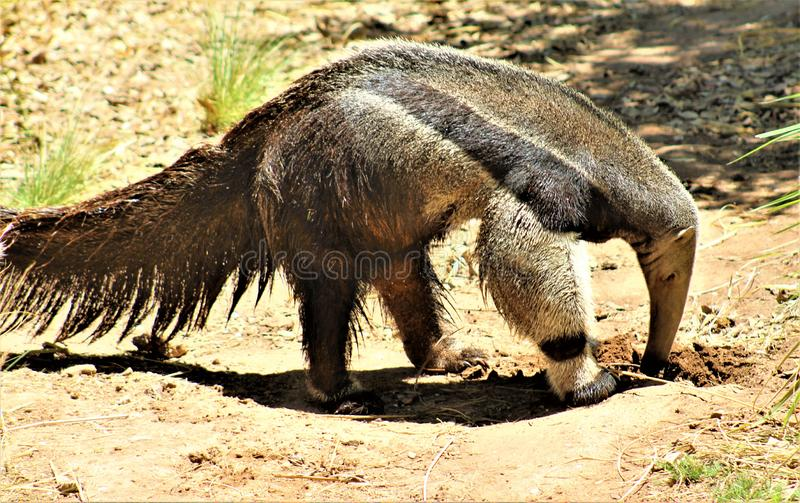 Anteater, Phoenix Zoo, Arizona Center for Nature Conservation, located in Phoenix, Arizona, United States. Anteater walking in the desert located at the Phoenix stock image