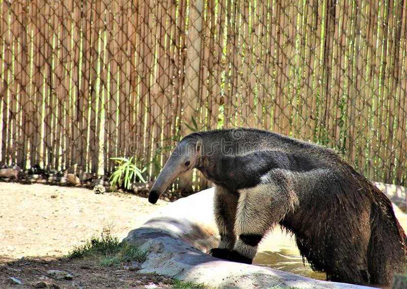 Anteater, Phoenix Zoo, Arizona Center for Nature Conservation, located in Phoenix, Arizona, United States. Anteater walking in the desert located at the Phoenix stock photo