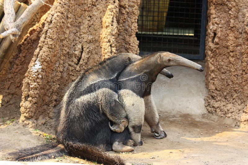 Anteaters mating stock image. Image of black, mating