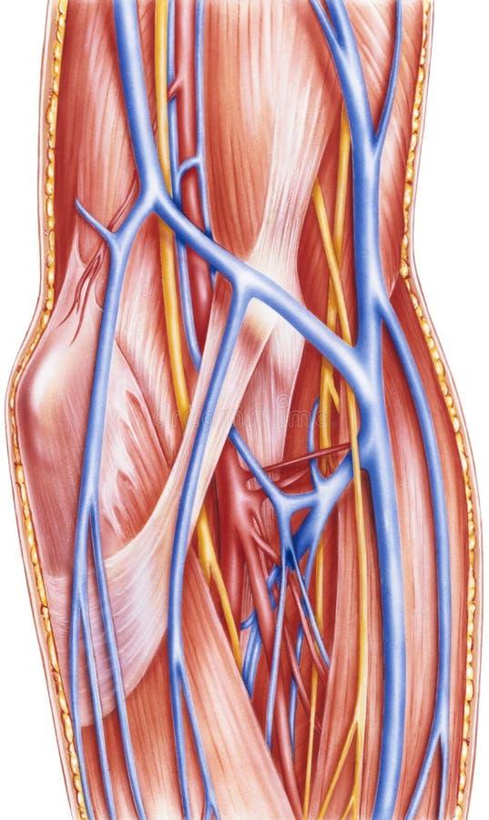 Antebrazo - buques y nervios anteriores dejados disección profunda ilustración del vector